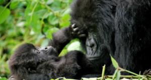 Планински горили в Нацонален парк на вулканите, Руанда