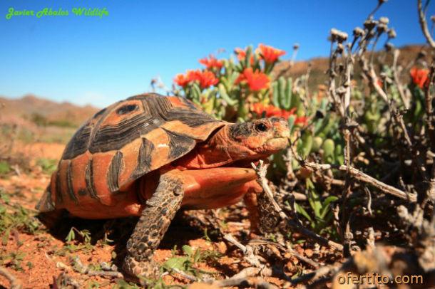 Сухоземна костенурка в природен резерват Гоегап, Южна Африка