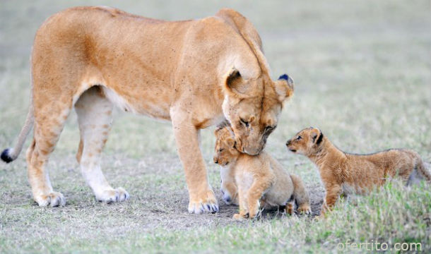Лъвица и малките й в Масай Мара, Кения
