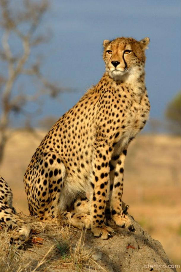 Гепард в Sabi Sands, Южна Африка
