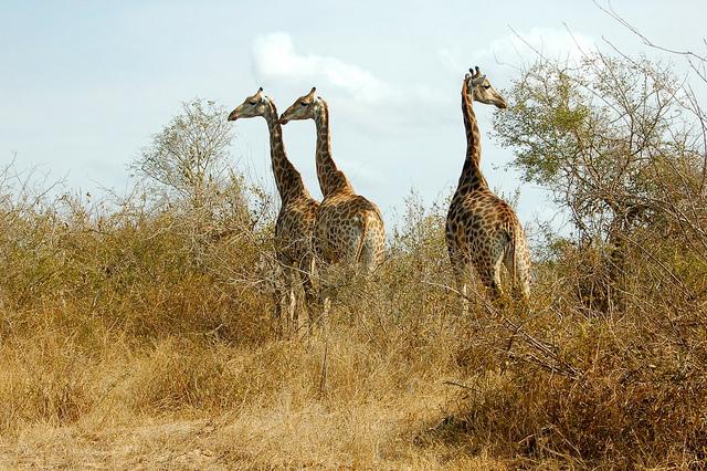 Жирафи в Крюгер